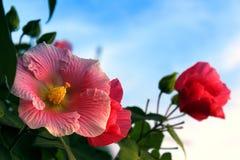 piękny hibiskus Obraz Royalty Free