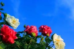 piękny hibiskus Zdjęcie Stock