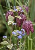 Pi?kny historia naturalna portreta wizerunek w?? g?owy Fritillary Fritillaria Meleagris w jaskrawym wiosny ?wietle s?onecznym fotografia stock
