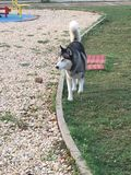 Piękny husky w parkowym odprowadzeniu uwalnia Zdjęcia Royalty Free
