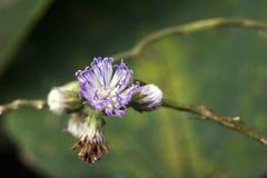 Piękny i ekstrawagancki mikro purpura kwiat Obraz Royalty Free