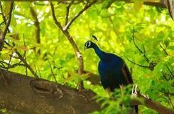 Piękny indyjski pawi obsiadanie na drzewie od parka zdjęcia stock