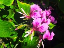 Piękny intensywny czerwony kwiat obrazy royalty free