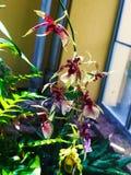 Piękny intensywny storczykowy kwiat Obraz Royalty Free