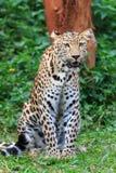 Piękny jaguara tygrys zdjęcie royalty free
