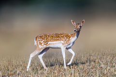 Piękny jeleni portret Zdjęcia Stock