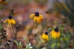 Piękny jesieni coneflower w ogródzie obrazy royalty free