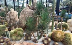 Pi?kny kaktusowy drzewo w ogr?dach plenerowych i parkach zdjęcia stock