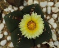 Pi?kny kaktusowy drzewo w plenerowych parkach i ogr?dach obrazy stock