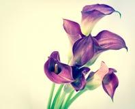 Piękny kalia kwiat Zdjęcie Stock