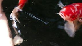 Pi?kny Koja karpia ryby p?ywanie w cz?steczki sp?awowej wodzie zdjęcie wideo
