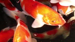 Pi?kny Koja karpia ryby p?ywanie w cz?steczki sp?awowej wodzie zbiory wideo