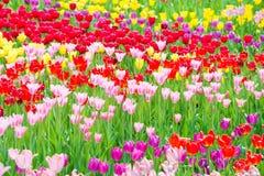 Piękny kolorowy flowerbed tulipany Zdjęcia Stock