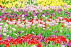 Piękny kolorowy flowerbed tulipany Obrazy Stock