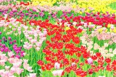 Piękny kolorowy flowerbed tulipany Obrazy Royalty Free