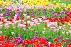Piękny kolorowy flowerbed tulipany Zdjęcie Stock