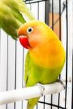 Piękny Kolorowy Lovebird Fotografia Stock