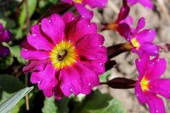 Piękny kolorowy petunia kwiat Obrazy Royalty Free