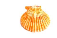 Piękny kolorowy seashell Obraz Royalty Free