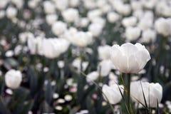 Piękny Kolorowy tulipan kwitnie Floriade zdjęcie royalty free