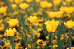 Piękny Kolorowy tulipan kwitnie Floriade obraz royalty free