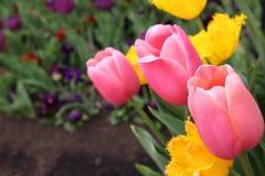 Piękny Kolorowy tulipan kwitnie Floriade fotografia stock