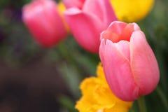 Piękny Kolorowy tulipan kwitnie Floriade zdjęcia royalty free