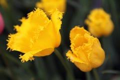 Piękny Kolorowy tulipan kwitnie Floriade obrazy royalty free