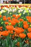 Piękny Kolorowy tulipan kwitnie Floriade zdjęcie stock