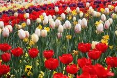 Piękny Kolorowy tulipan kwitnie Floriade zdjęcia stock