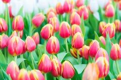 Piękny kolorowy Tulipanowy kwiat obraz stock