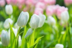 Piękny kolorowy Tulipanowy kwiat zdjęcia stock