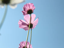 Piękny kosmos kwitnie kwitnienie w niebieskim niebie Fotografia Royalty Free