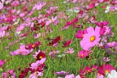 Piękny kosmos kwitnie kwitnienie w ogródzie Zdjęcie Royalty Free