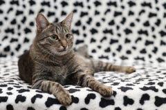 piękny kot Zdjęcie Stock