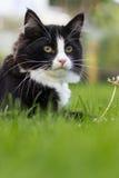 piękny kot Fotografia Royalty Free