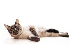 piękny kot Fotografia Stock