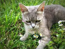 piękny kot Zdjęcia Royalty Free