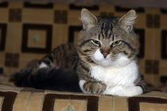 Piękny kot odpoczywa na eleganckiej kanapie Fotografia Royalty Free