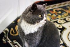 Piękny kot w domu obrazy stock