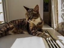 1 Pi?kny kota baldeet na okno fotografia royalty free