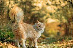 Piękny kota odprowadzenie w jesieni Fotografia Royalty Free