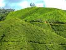 Piękny krajobraz Herbaciana plantacja Zdjęcie Stock