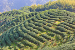 Piękny krajobraz herbaciane plantacje Fotografia Royalty Free
