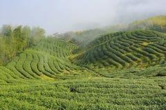 Piękny krajobraz herbaciane plantacje Zdjęcia Royalty Free