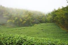 Piękny krajobraz herbaciane plantacje Zdjęcie Royalty Free