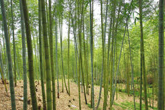 Piękny krajobraz moso bambusa las Fotografia Royalty Free