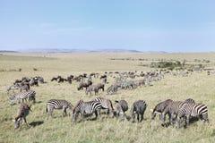 Piękny krajobraz z zebr i Wildebeest pasaniem Obraz Royalty Free