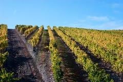 piękny krajobrazowy winnica Zdjęcie Royalty Free