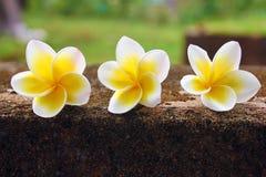 piękny kwiatów frangipani plumeria trzy Zdjęcie Stock